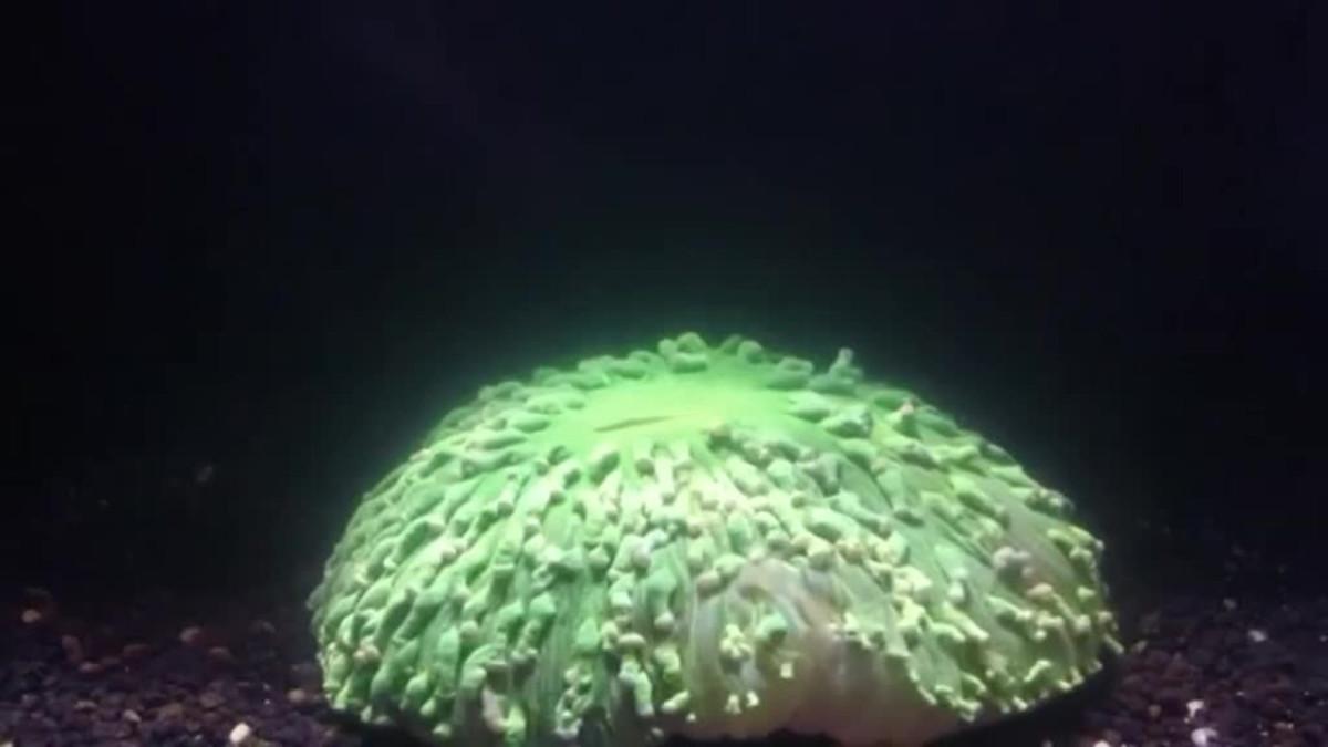 Uutisvideot: Lämpenemisestä kärsivä koralli kuvattiin videolle