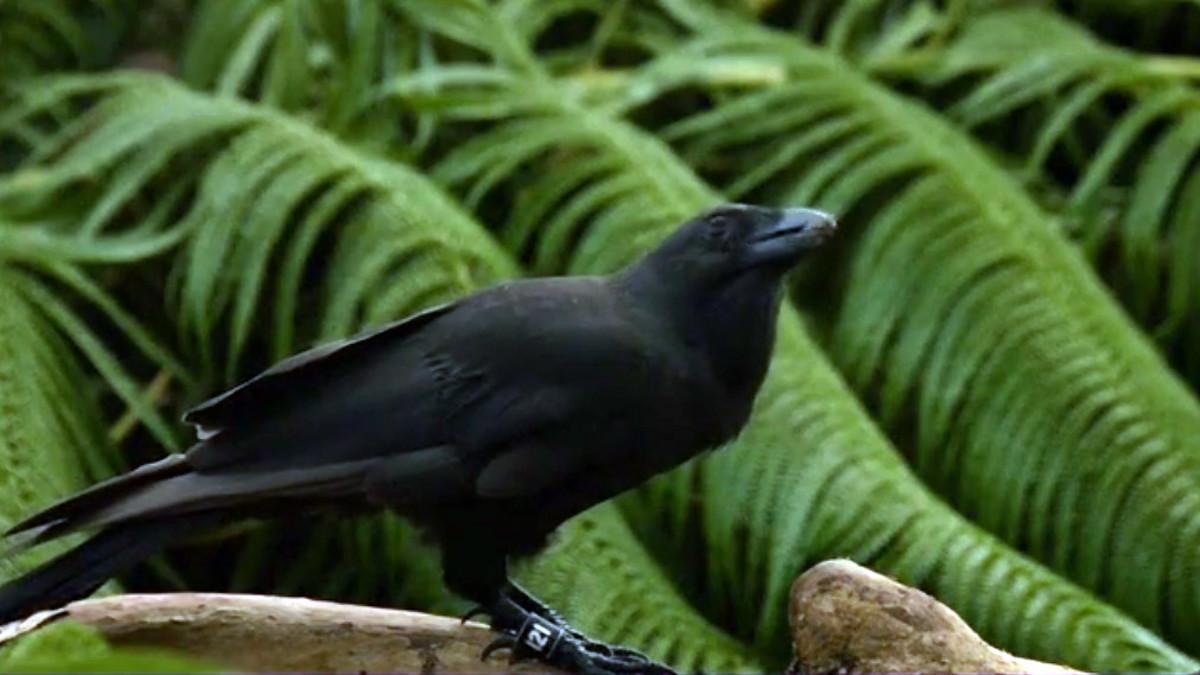 Uutisvideot: Uusi lintulaji paljastui taitavaksi työkalujen käyttäjäksi
