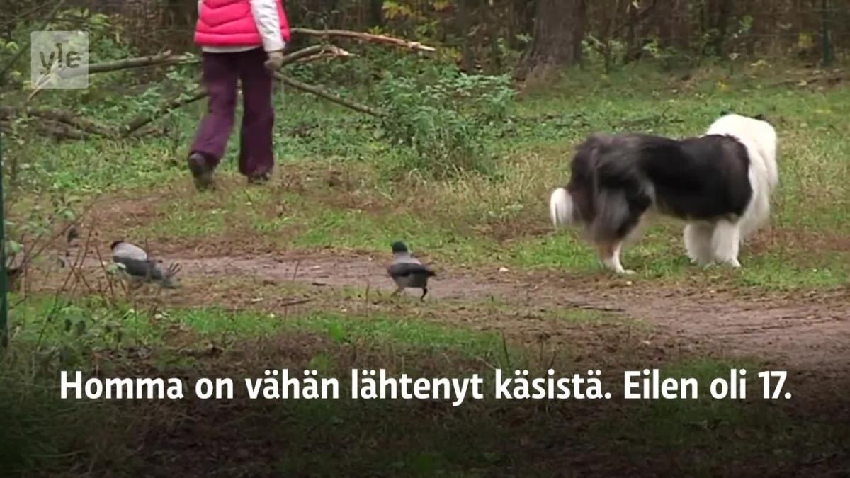 Yle Uutiset Uusimaa: Lenkillä varisten kanssa