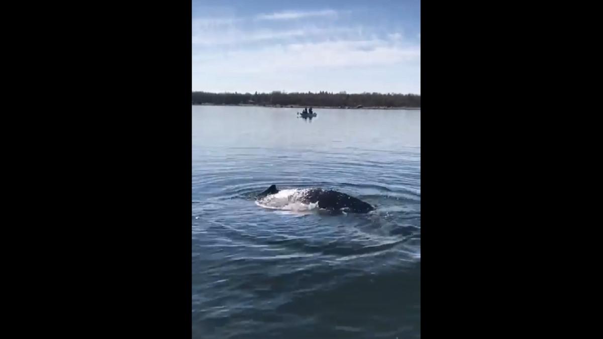 Meripelastajat vapauttivat ryhävalaan siikarysästä Perämerellä
