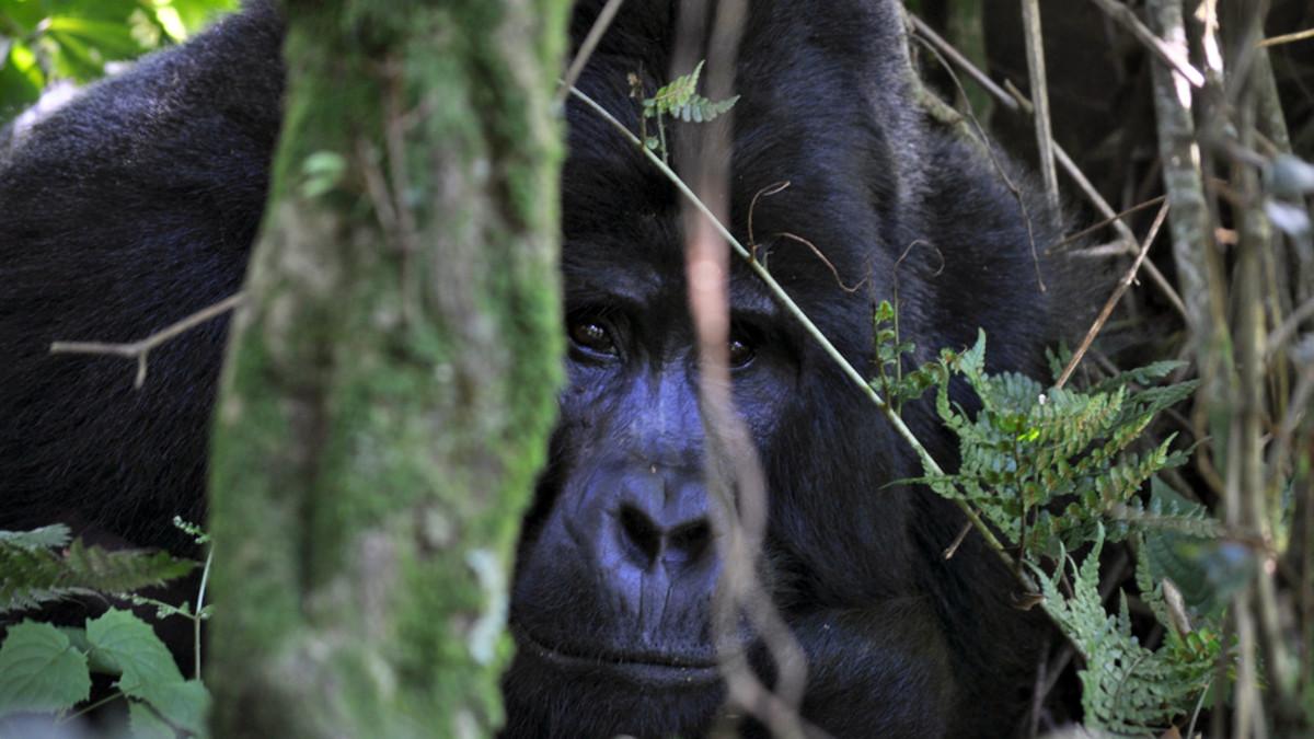 Uhanalaisten vuorigorillojen kanta on kasvanut