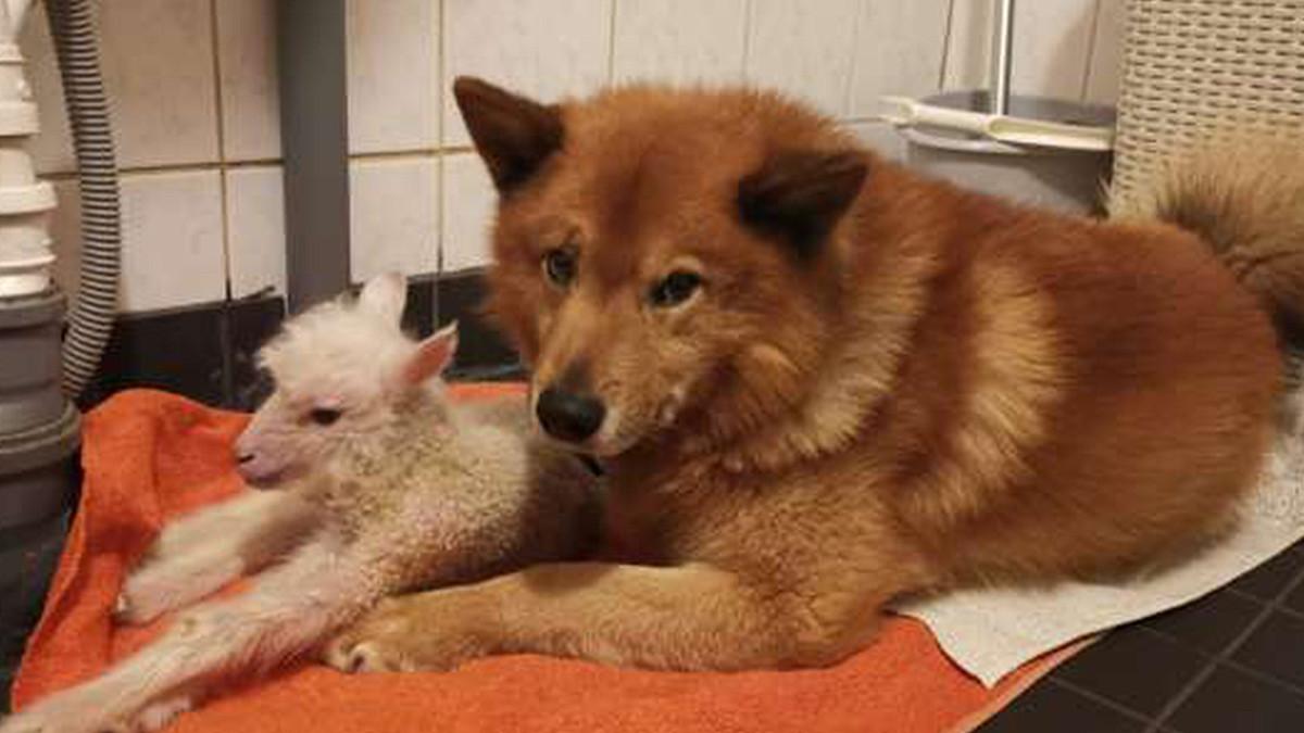 Koira otti kävelykyvyttömän karitsan hoitaakseen