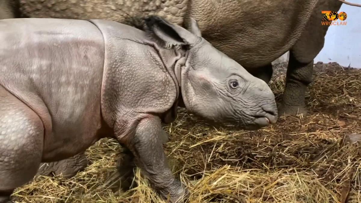 Harvinainen intiansarvikuono syntyi Wrocławin eläintarhassa Puolassa
