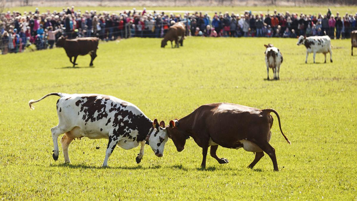 Lehmät päästettiin laitumelle Viikin opetus- ja tutkimustilalla Helsingissä.