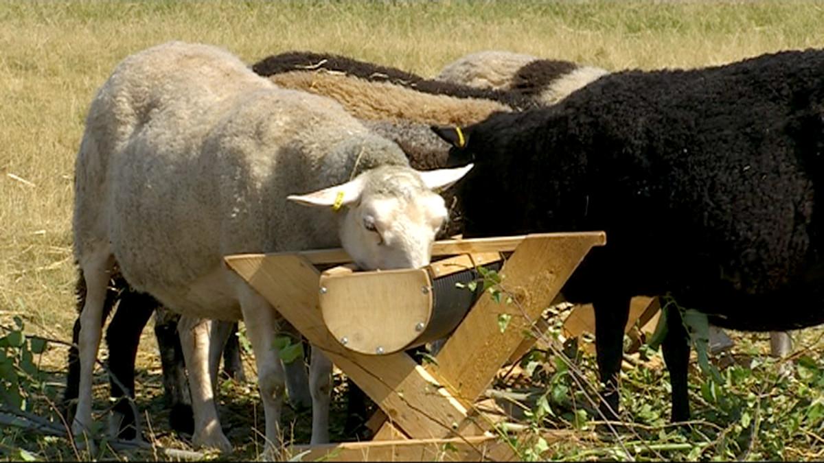 Lampaita ruokakaukalon äärellä