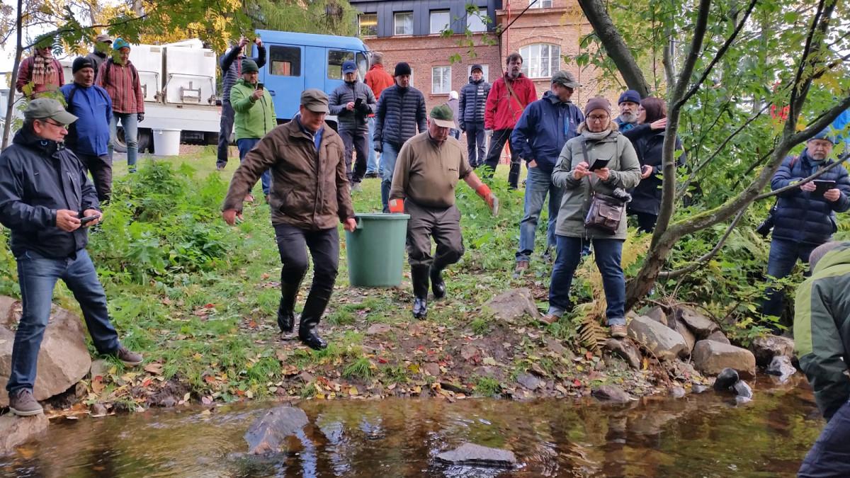 Luonnonvarakeskus istutti Oulussa Hupisaarten puroihin 40 emokalaa syksyllä 2018.