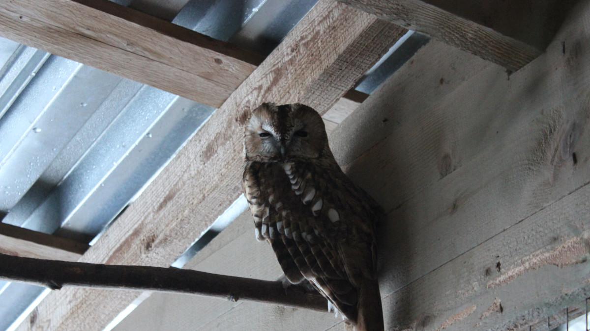 Lehtopöllö Pyhtään lintuhoitolassa.