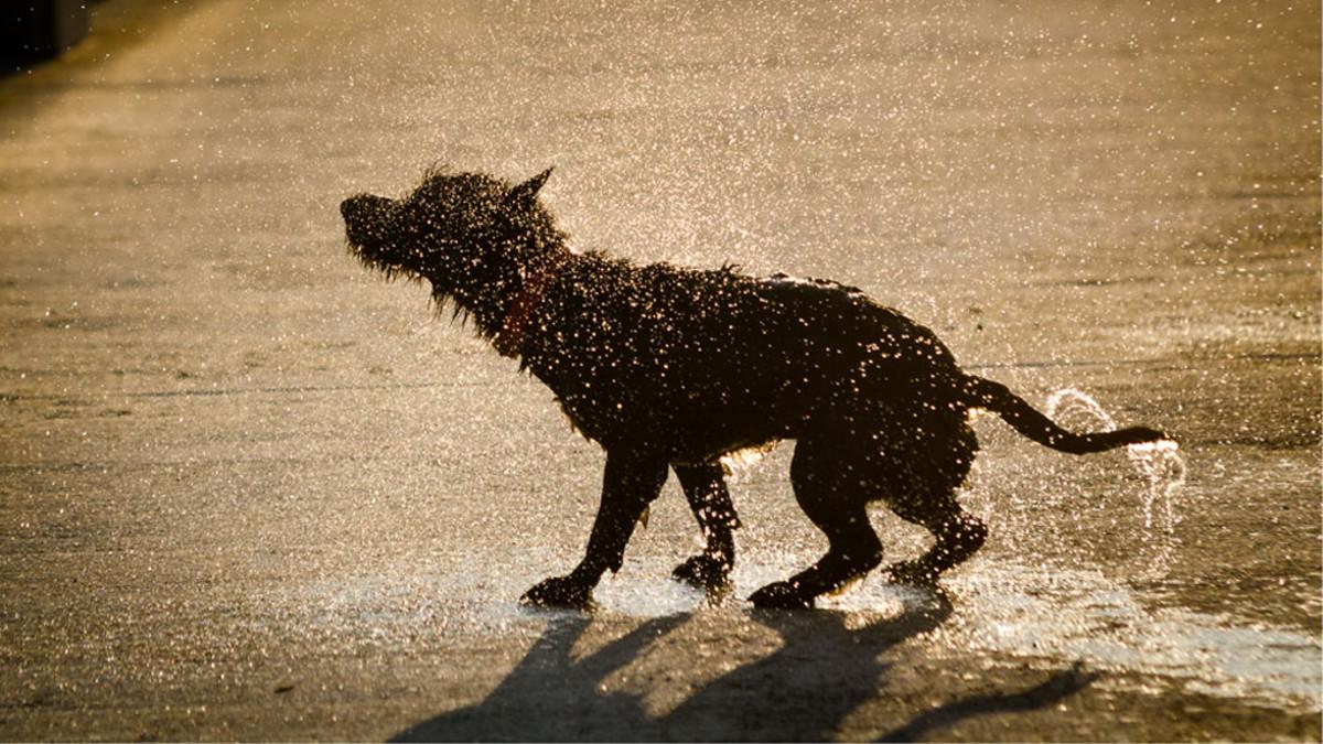 Kesäkuvakisan 2011 voittajakuva. Koira ravistelee turkkiaan laiturilla. Vesipisarat roiskuvat.