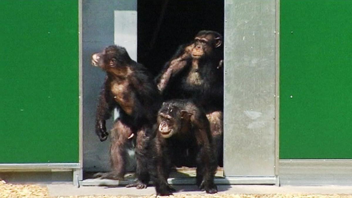 Simpanssi astumassa ulos parakista aurinkoon.