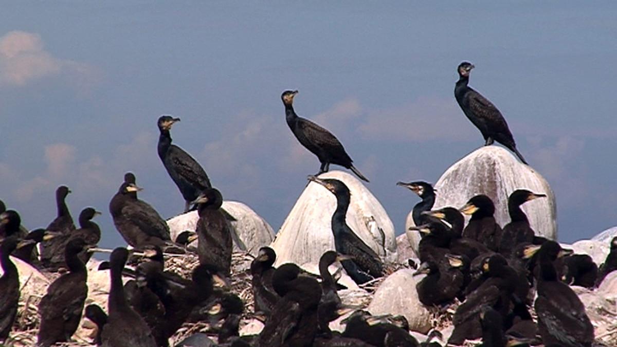 Merimetsoja Pohjanleton saarella Krunnien suojelualueella Iin edustalla.