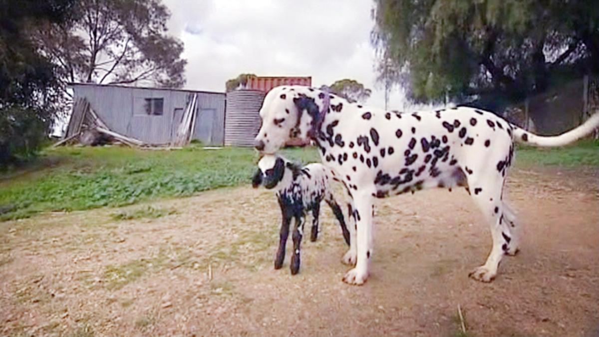 Koira Nuolee Ihmistä