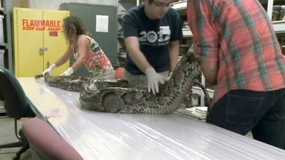 Floridan yliopiston opiskelijat nostamassa suurinta Floridasta löydettyä pytonia tutkimuspöydälle.