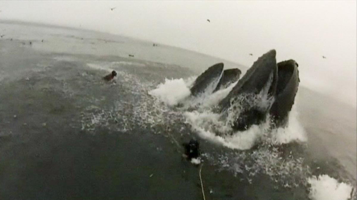 Sukeltajat välttivät täpärästi ryhävalaiden kitaan joutumisen Kalifornian rannikolla.