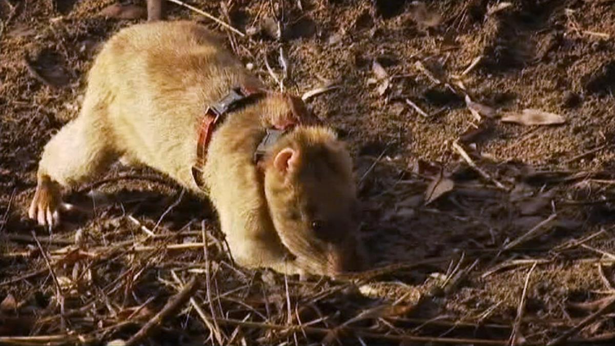 Miinoja etsivä rotta.