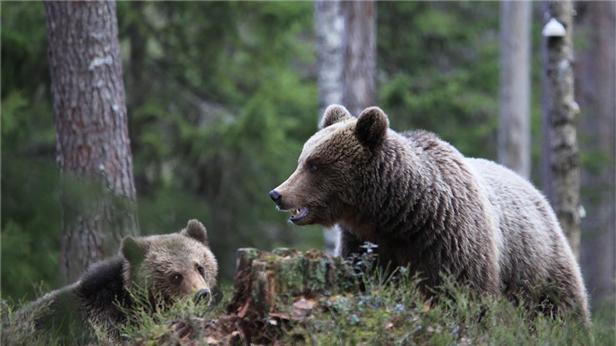 Kaksi karhua mättäällä.