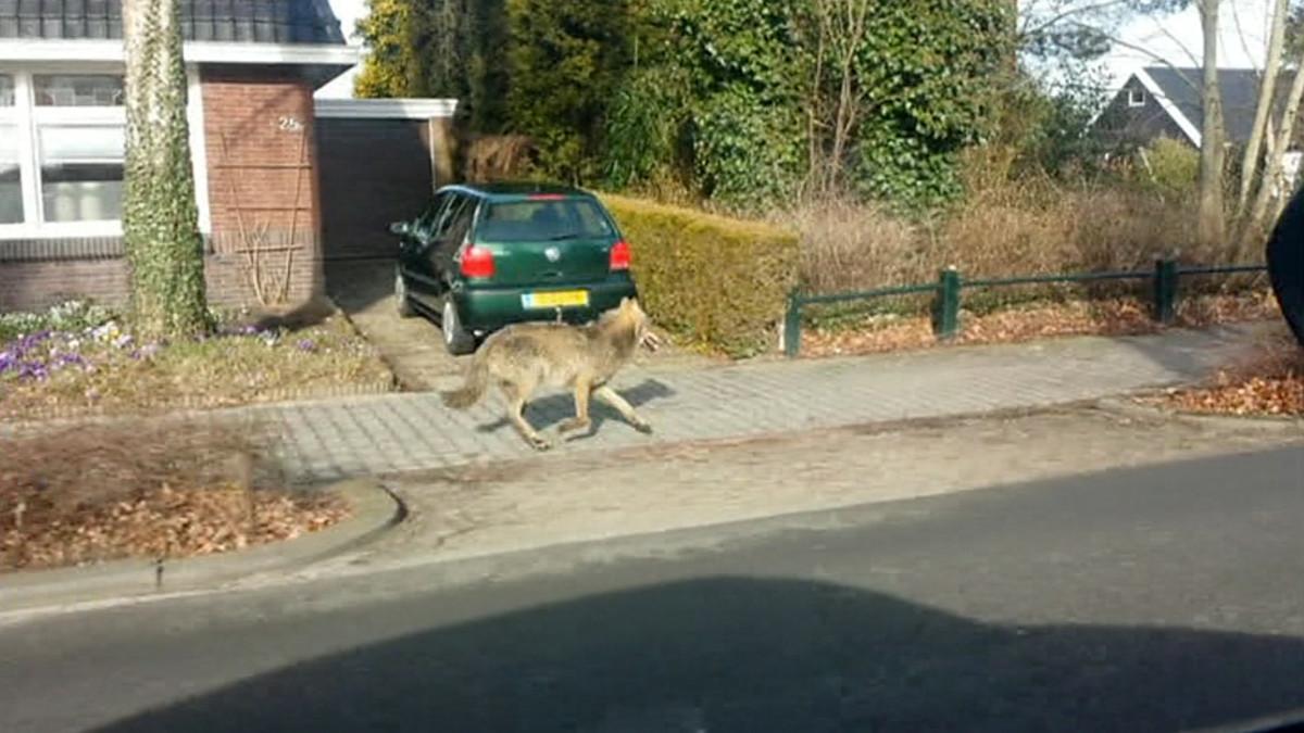 Susi juoksemassa hollantilaisen pikkukaupungin kadulla.
