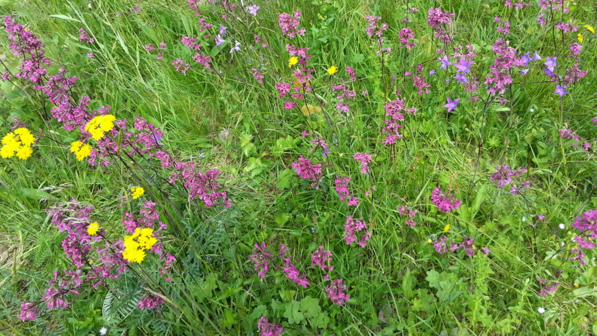 Kukkia Pellisenrannan niityllä Joutsenossa.