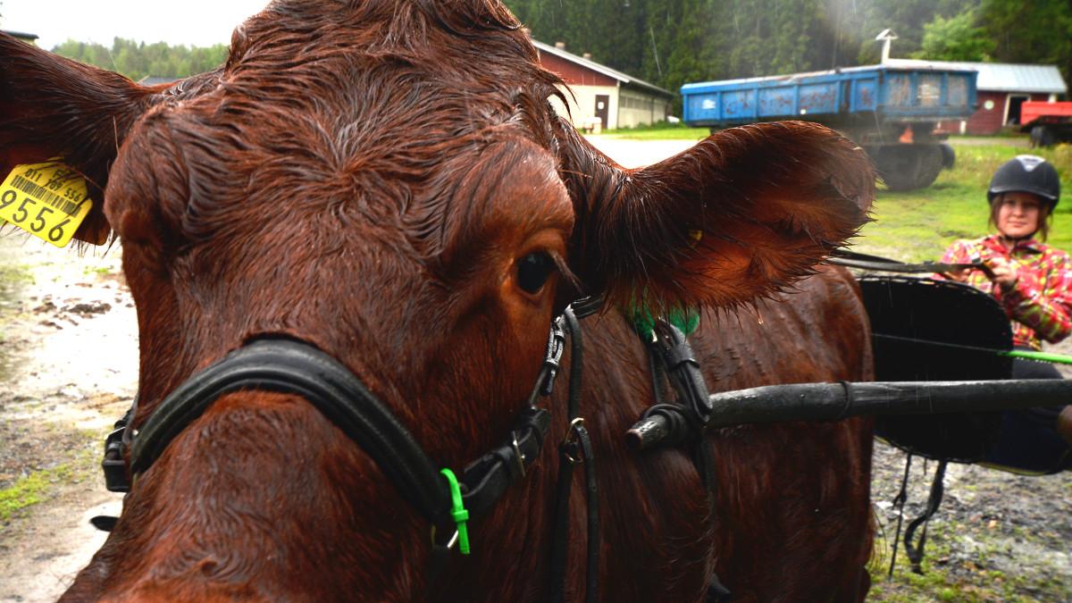 Tyttö ajaa lehmän vetämillä ravikärryillä.