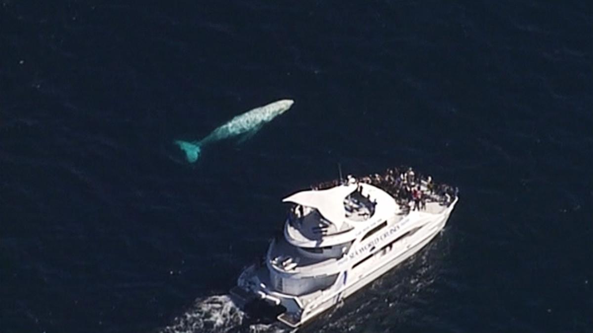Valkoinen valas.