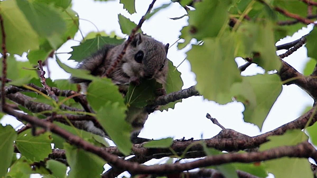 Oravan ääni