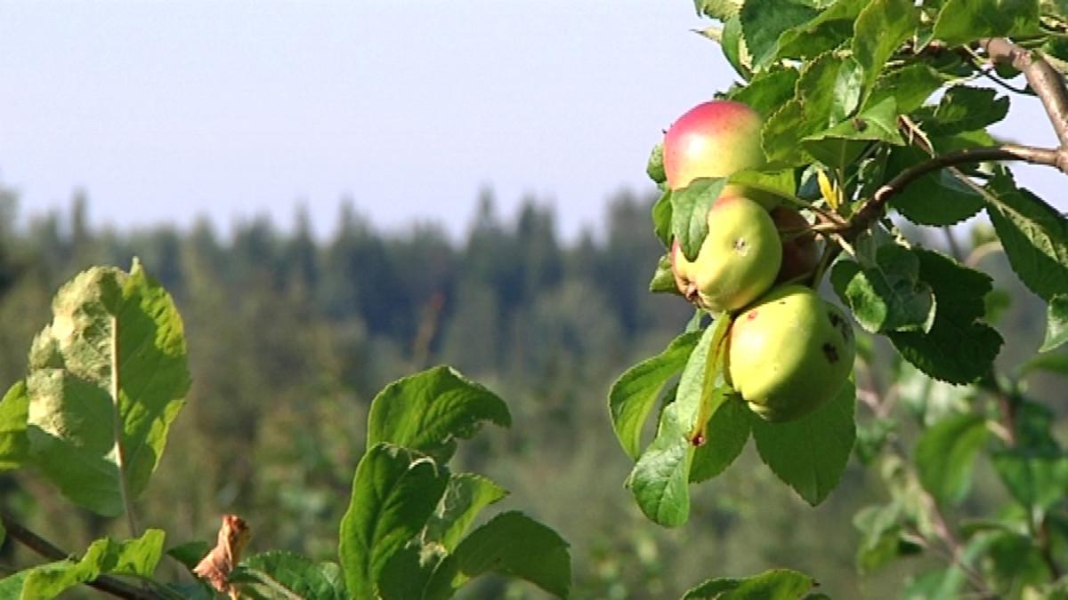 Pihlajanmarjakoin pilaamia omenoita.