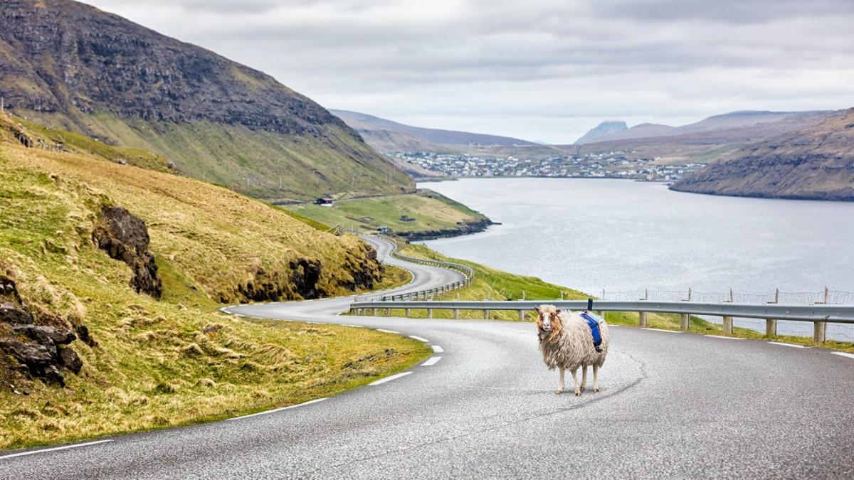 Lammas seisoo maantiellä kameravaljaat selässään.