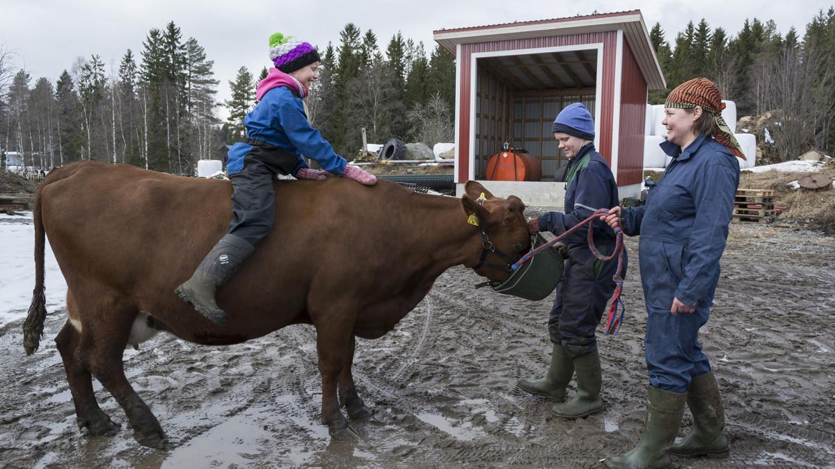Elli-Noora Härkönen ratsastaa lehmällä Iivonlahden maitotilalla