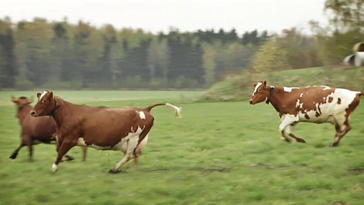 Viikin koetilan lehmiä lasketaan laitumelle.