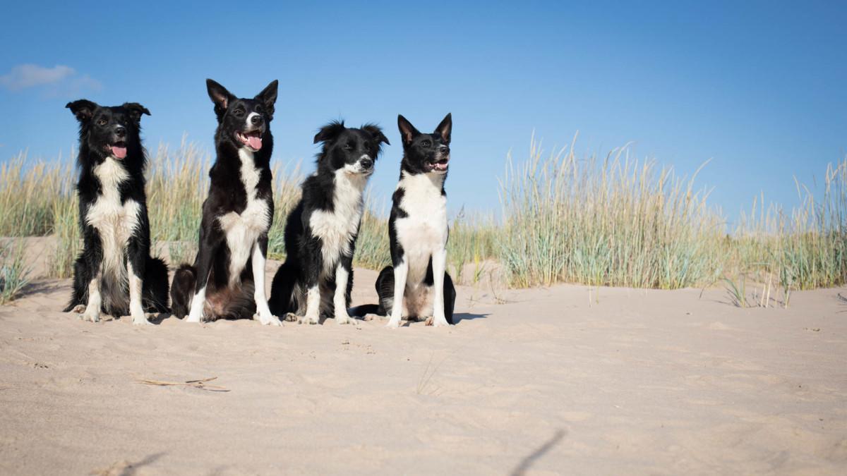 Tanja Kurikan koirat rannalla.