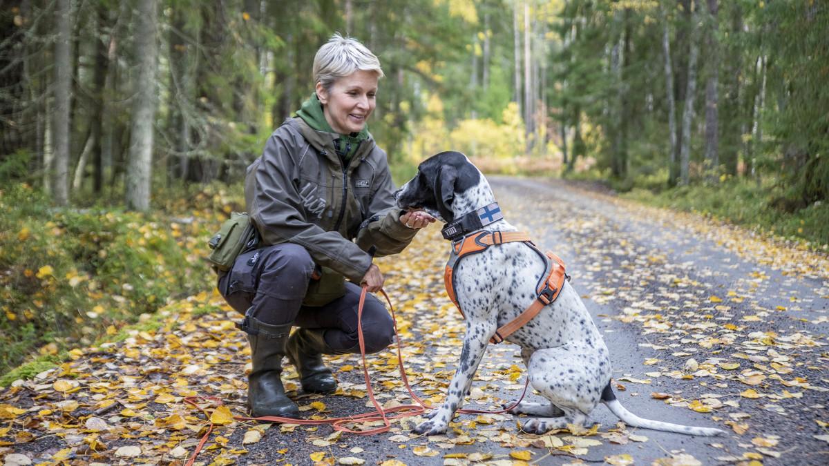 Koiria kokeillaan käyttää apuna liito-oravien kartoituksessa – näin koira työskentelee metsässä