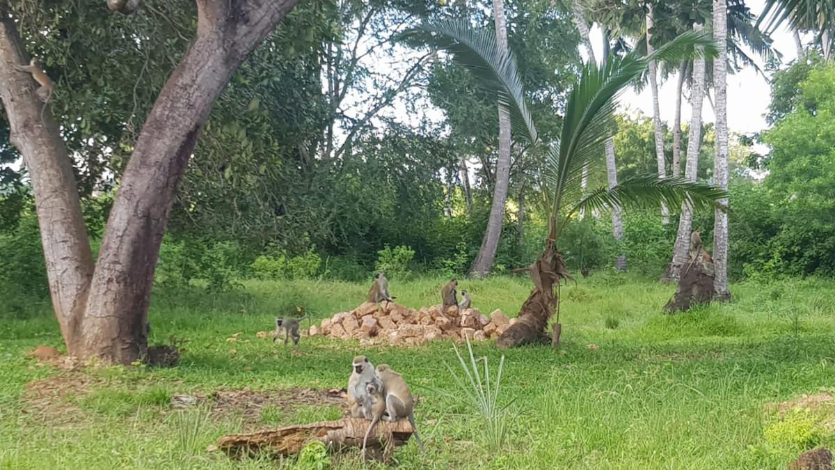 Apinat istuvat puun alla.
