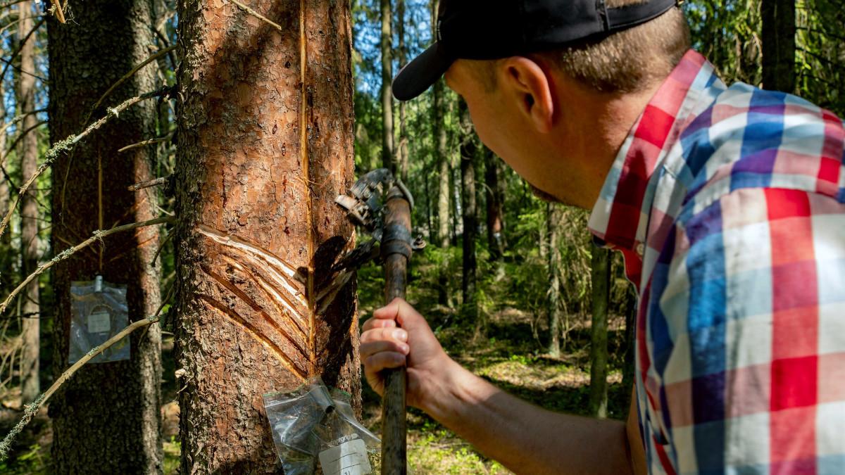 Marko Ämmälä tutkii kuusta, johon on tehty kalanruotokuvio ja viiltoja pihkan valuttamista varten.