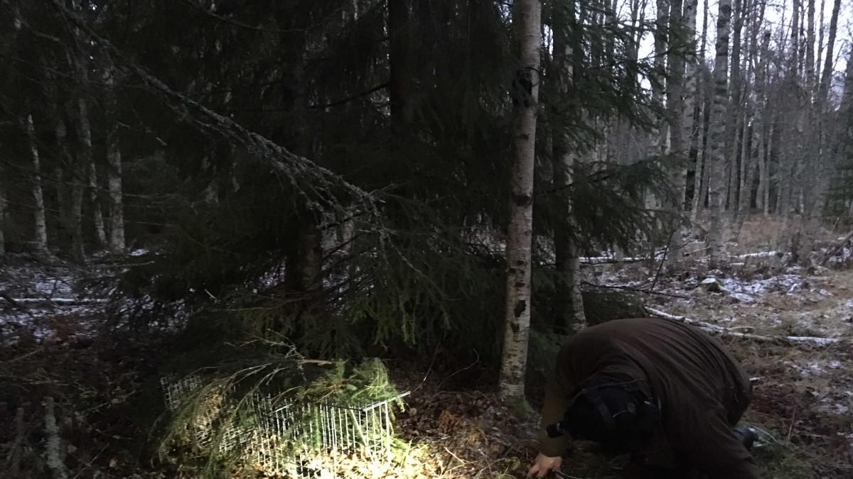Metsästäjä tarkistaa loukun kunnon.