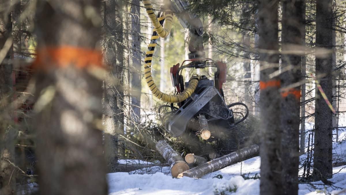 Metsäkone kaataa puita metsässä.