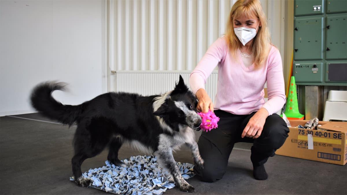 Bordercollie-koira leikkii koiranomi Paula Speerin kanssa
