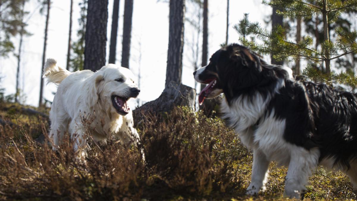 Toivo ja Dara koirat leikkivät metsässä.