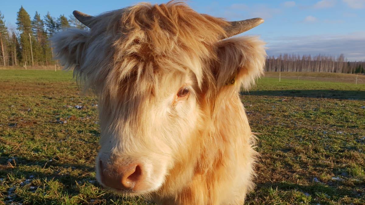 Ylämaan lehmä
