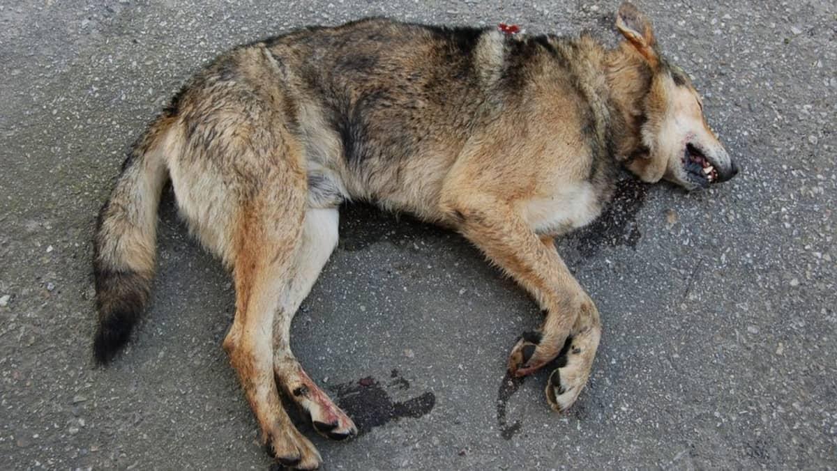 Poliisin lopettama koiraeläin Lieksassa.