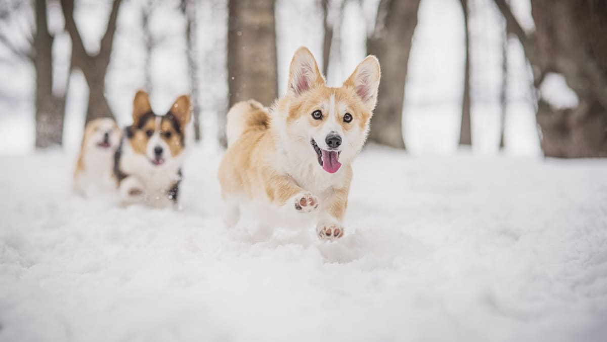 Iloisia corgeja lumihangessa