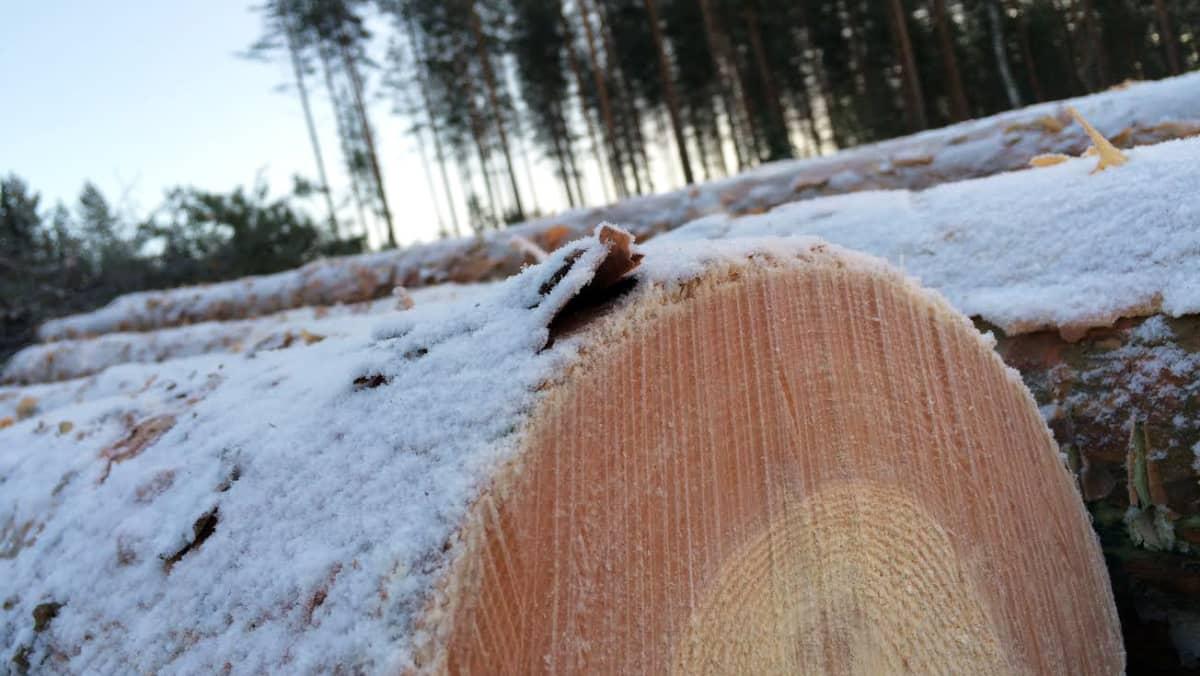 Kaadettuja puita pinossa.