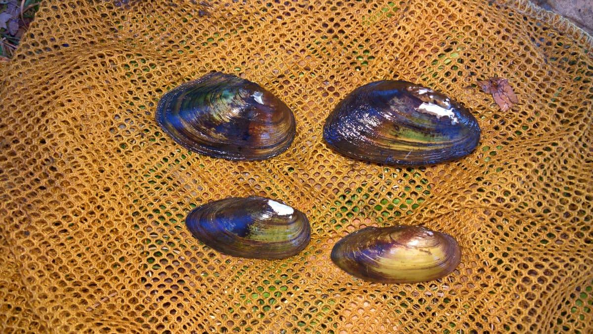 Kuvassa neljä eri simpukkaa. Ylhäältä aloittaen kuvassa on pikkujärvisimpukka, litteäjärvisimpukka, alhaalla sysijokisimpukka ja soukkojokisimpukka.