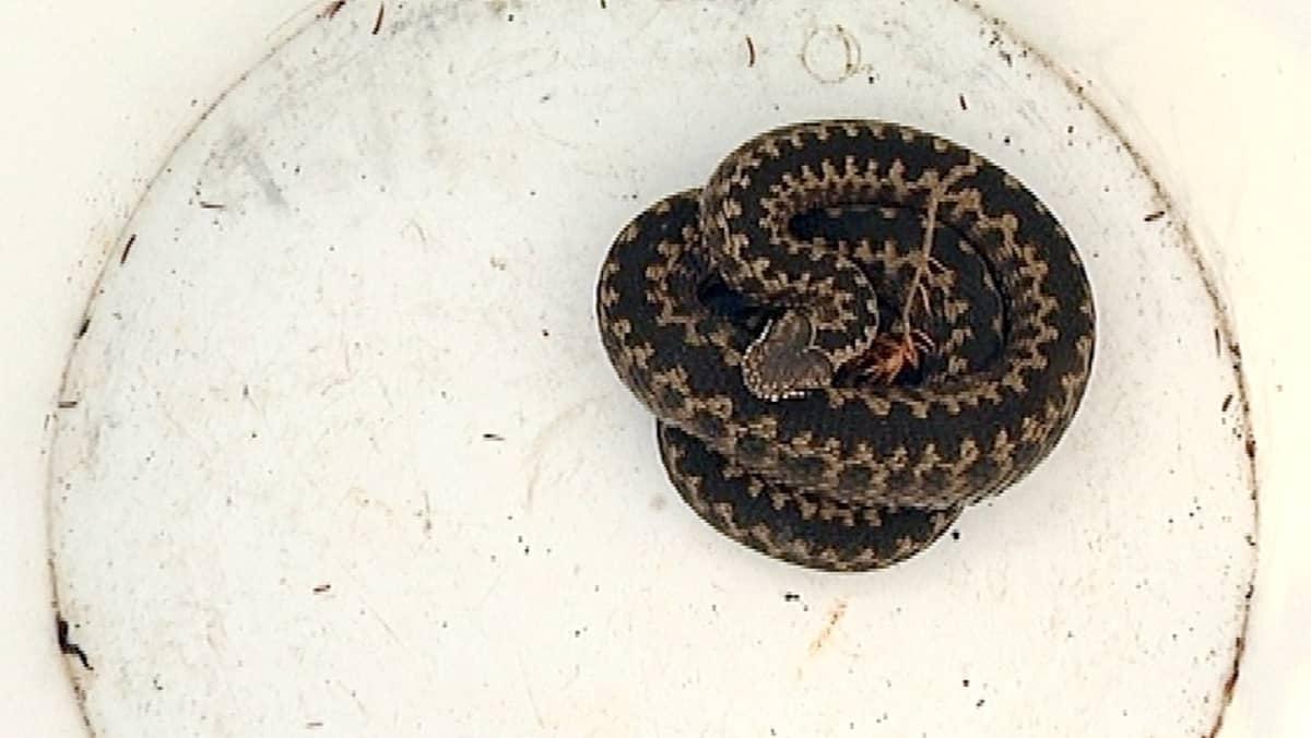 Kyykäärme nimeltä Reino.