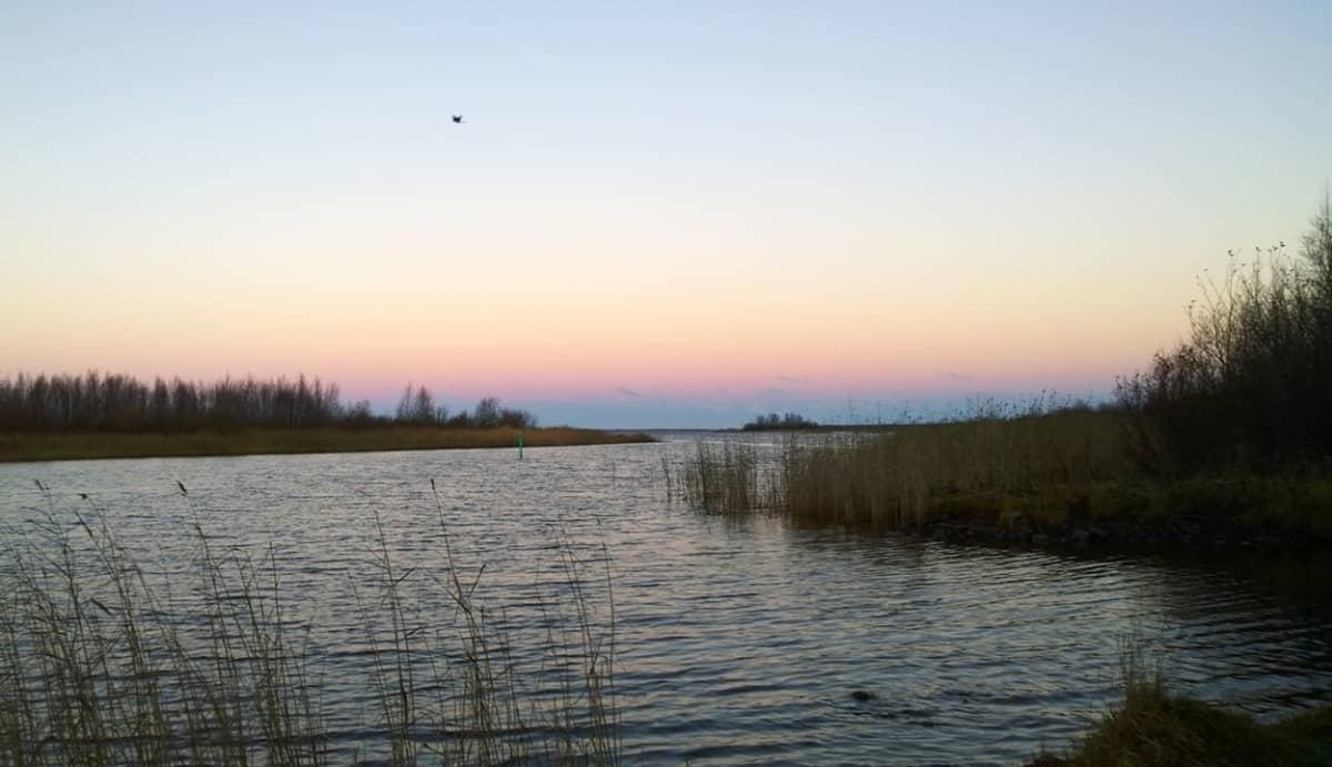 Lintu iltalennolla Oulun Rajahaudassa syyskesällä 2015.