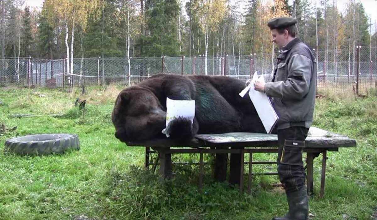 Juuso-karhu maalaa pöydällä maaten.