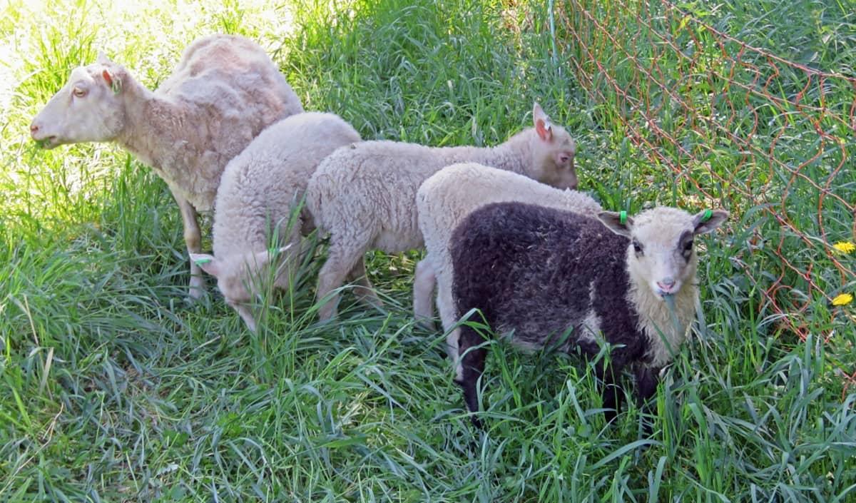 Lampaita aidan vieressä.