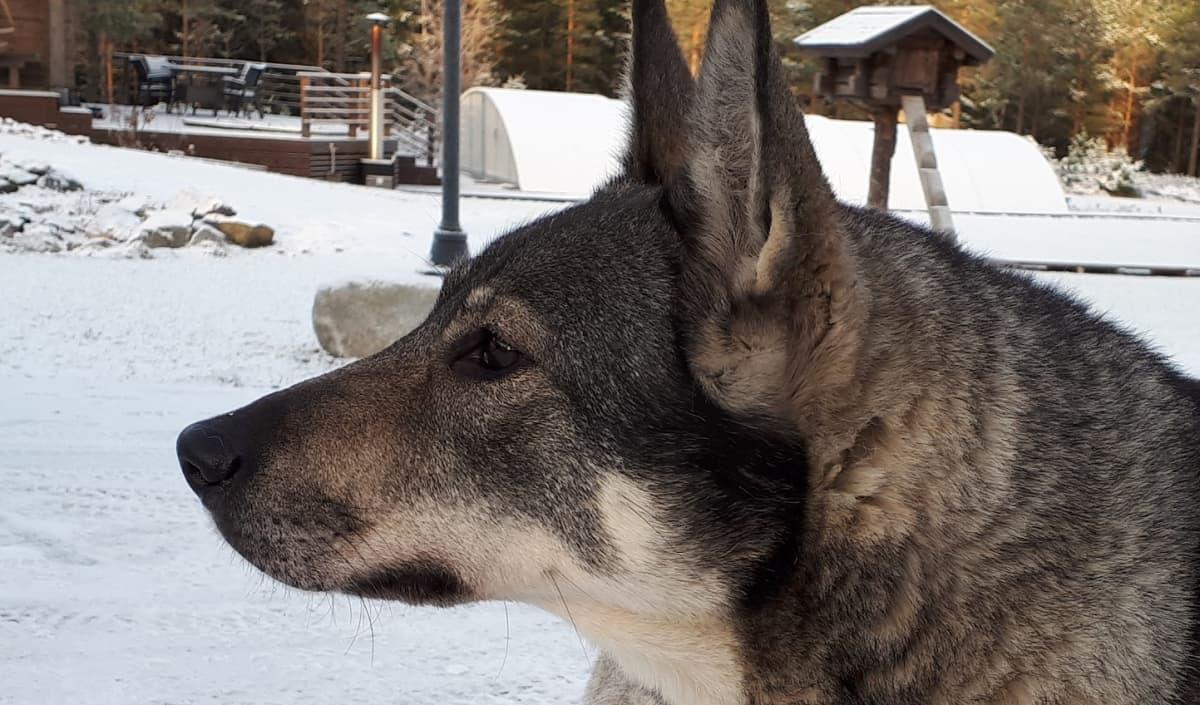 Jämtlanninpystykorva Salli, koira