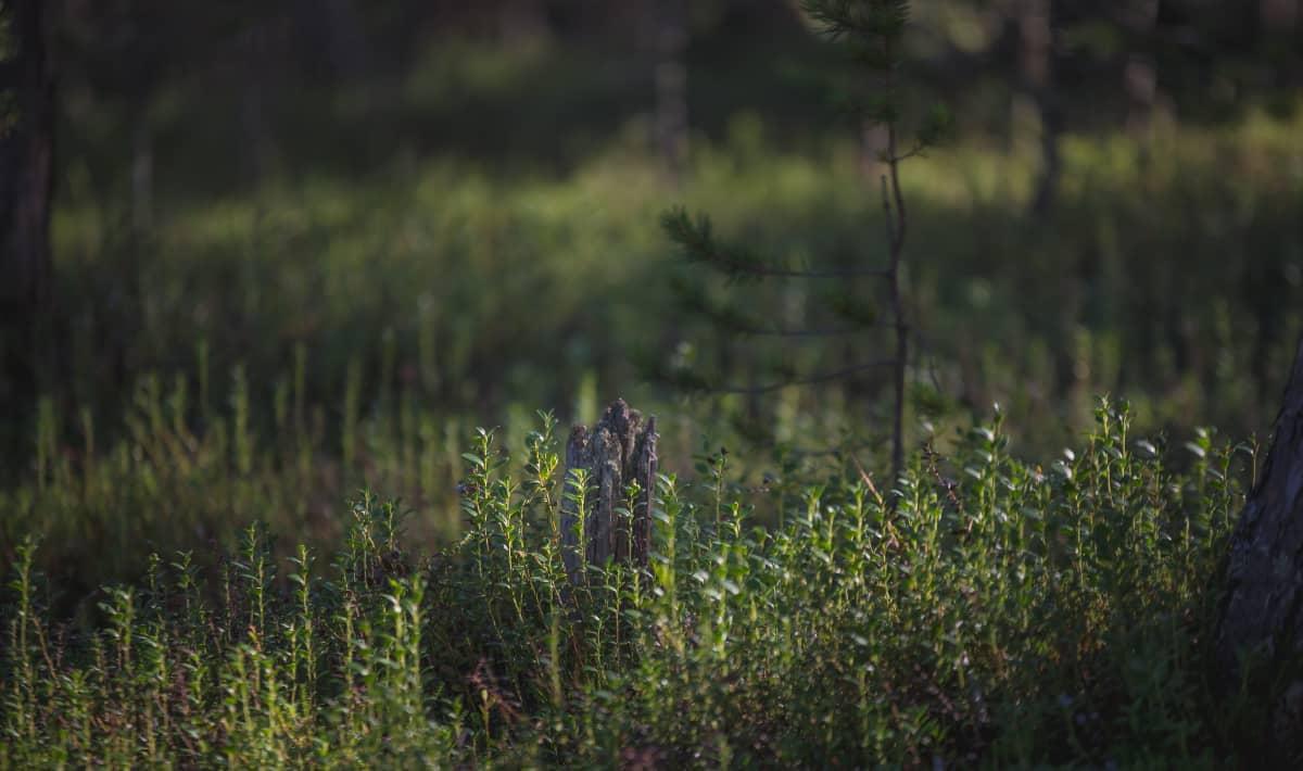 Metsämaisemaa.
