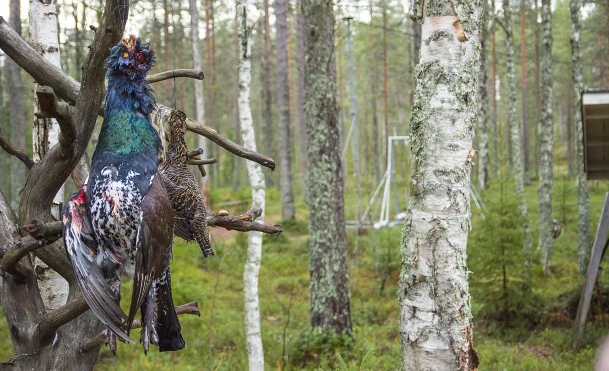 metso teeri metsästys metsäkanalinnut