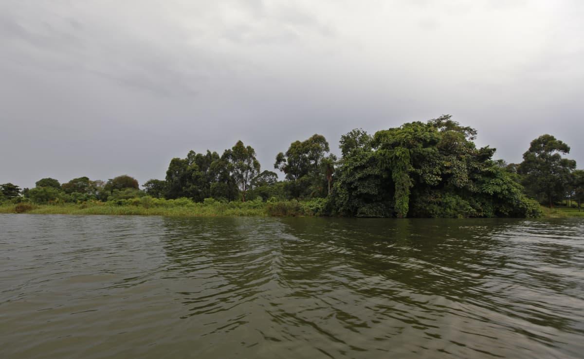 Victoria-järven rantaa, joka on täynnä kasvillisuutta. Kuvattu Ugandan puolelta.