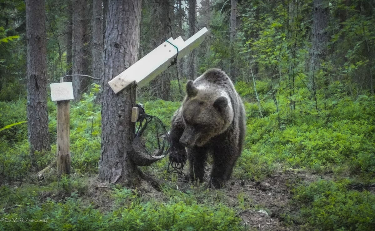 Karhulla on pienpetopyydys kiikki käpälässä.